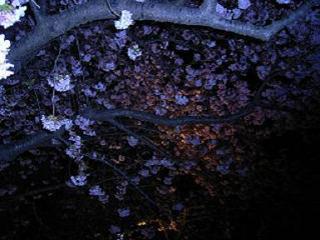 河津の夜桜