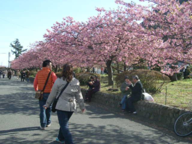 河津桜 - 桜並木と人