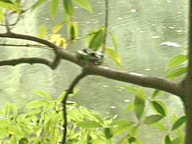 樹上のメス - モリアオガエル